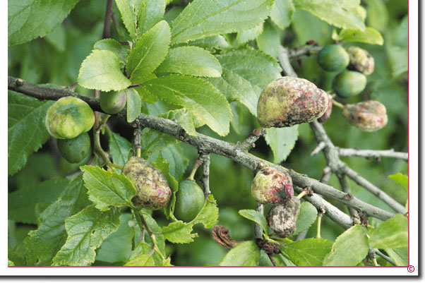 Pflaumen-Narrentasche Taphrina pruni