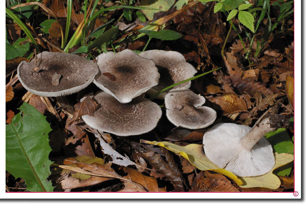 Gilbender Erdritterling Tricholoma argyraceum