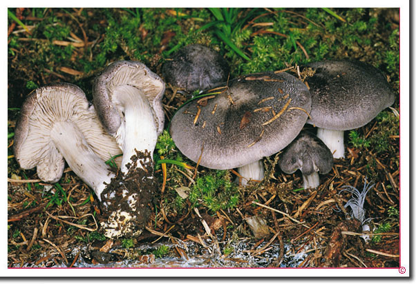 Schwarzschuppiger Erd-Ritterling Tricholoma atrosquamosum