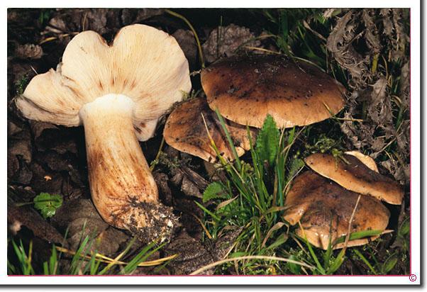 Pappel-Ritterling Tricholoma populinum