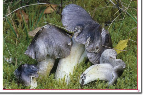 Schwarzfaseriger Ritterling Tricholoma portentosum