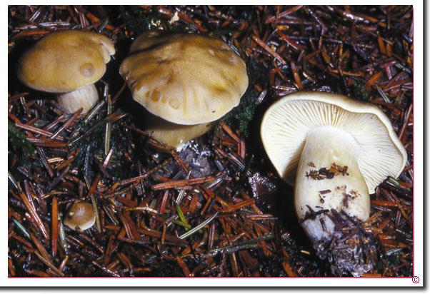 Seifen-Ritterling Tricholoma saponaceum