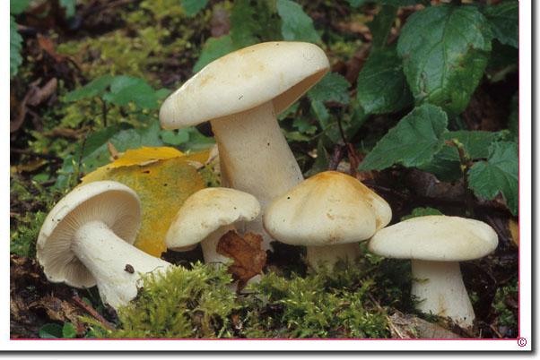 Birken-Ritterling Tricholoma stiparophyllum