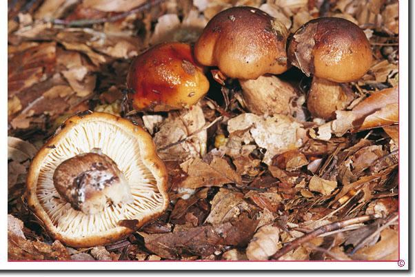 SBrandiger Ritterling Tricholoma ustale