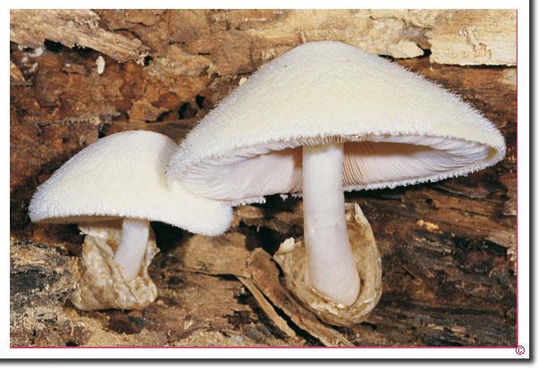 Wolliger Scheidling Volvariella bombycina