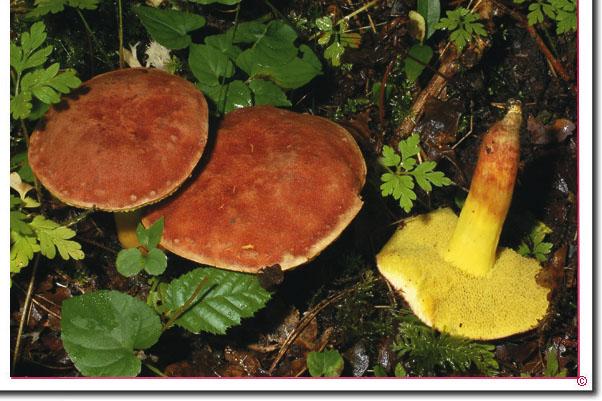 Rotbraune Ziegenlippe Boletus subtomentosus