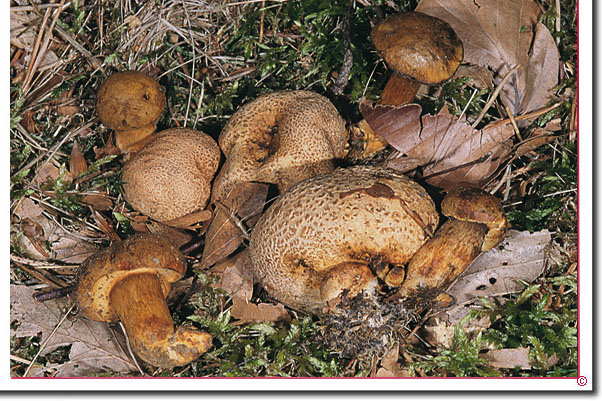 Parasitischer-Filzröhrling Xerocomus parasiticus